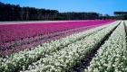 champs de tulipes blanc et rose