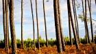 foret de pins dans les landes