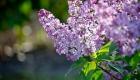 lila en fleur