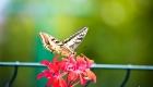 un grand papillon butine sur un géranium