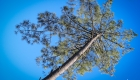 pin landais sous un ciel bleu