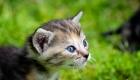petit chaton tigré