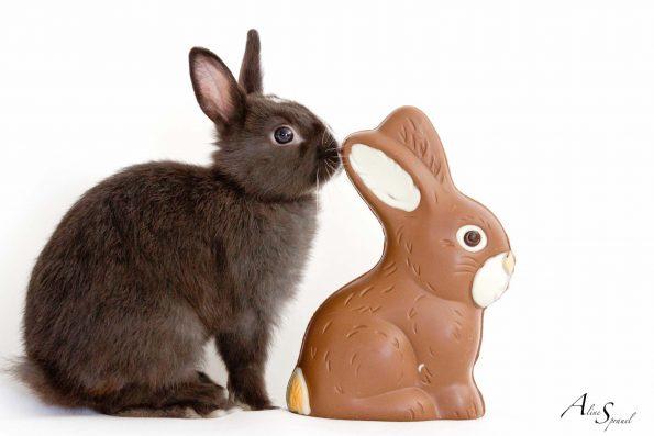 un lapin nain et le chocolat
