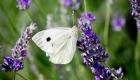 papillon blanc butine