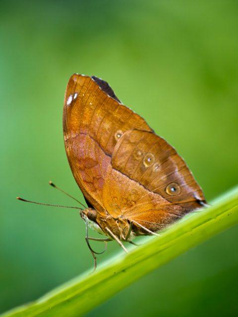 papillon marron