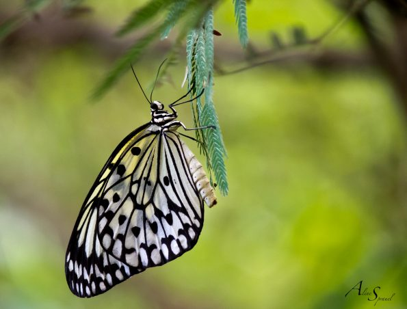 papillon noir et jaune
