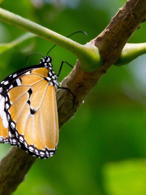 papillon a pois