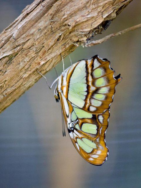 papillon vert et marron
