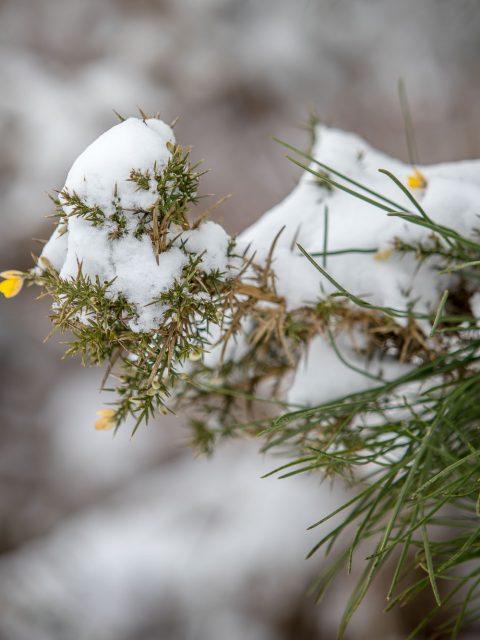 ajonc-neige