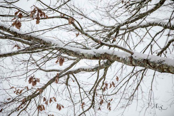 chêne en neige