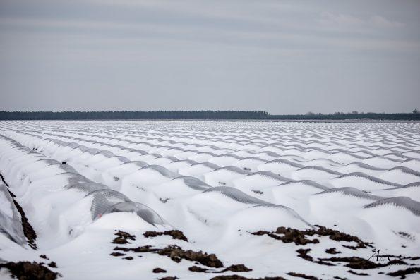 champs d'asperges en hiver