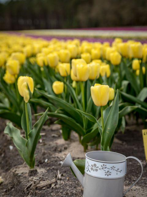 arrosoir champs de tulipes