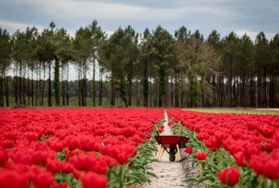 Champs de tulipes dans les Landes