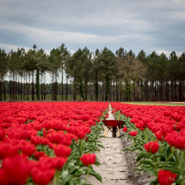 brouette tulipes