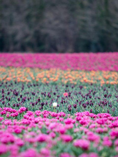 champs tulipes colorés