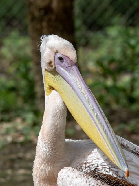 tête de pelican