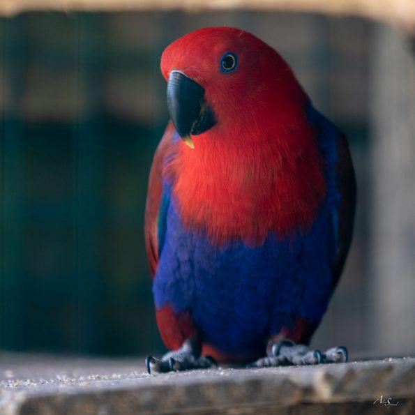 perroquet rouge et bleu