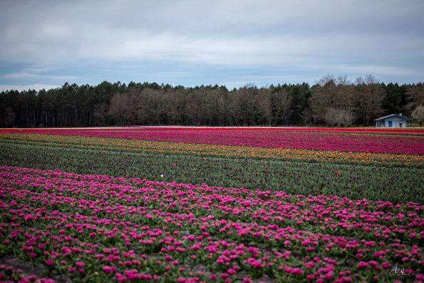 photo champs de tulipes