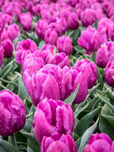 tulipes fuchsia