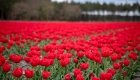 tulipes rouge