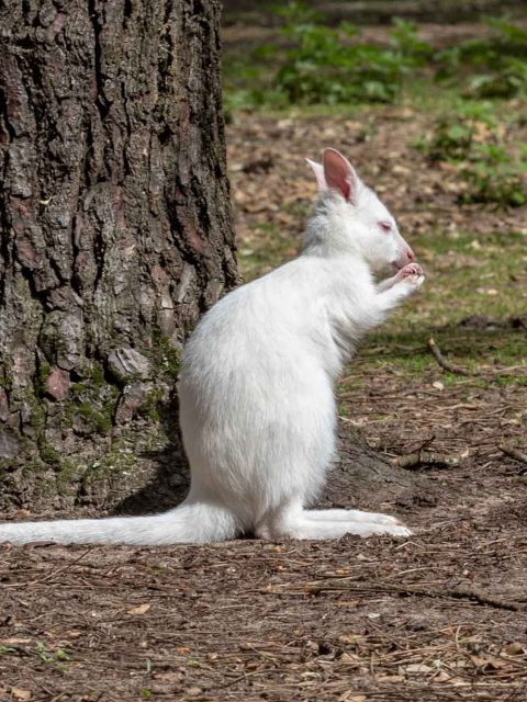 walibi blanc