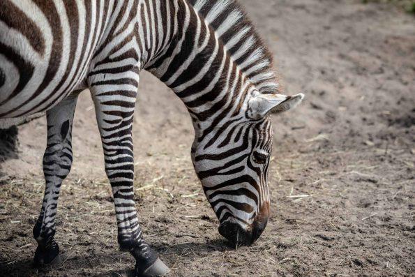 zebre mange