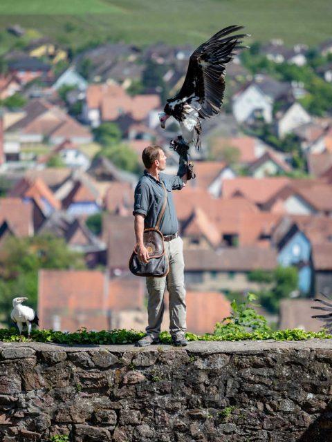 fauconnier volerie des aigles