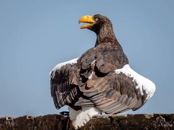 aigle de dos