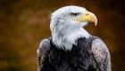 tête aigle royal