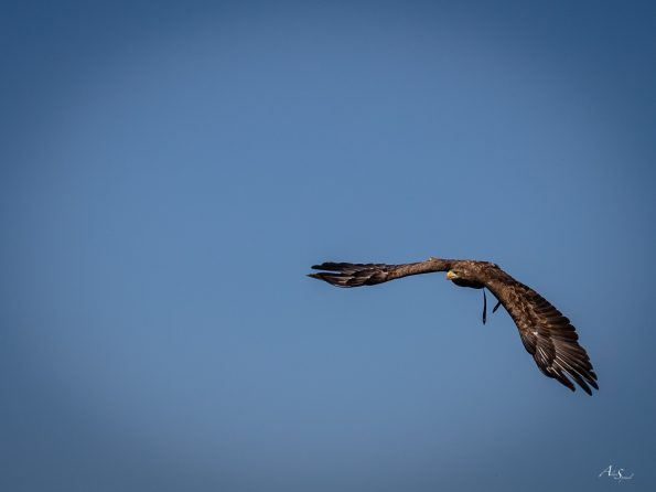 aigle vole