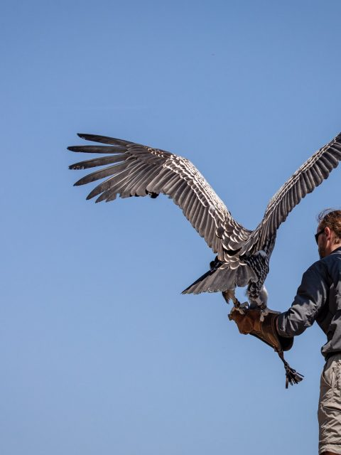 fauconnier vautour