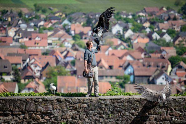 fauconnier plaine d'Alsace