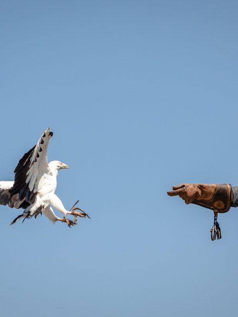 fauconnier