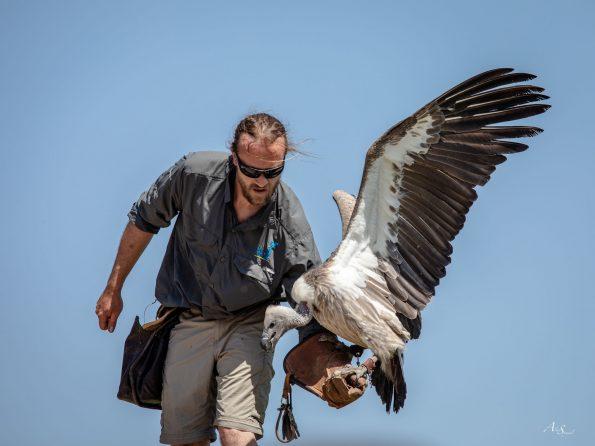 vautour mange