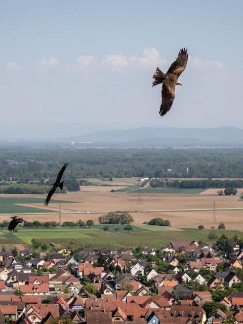 rapaces plaine d'Alsace