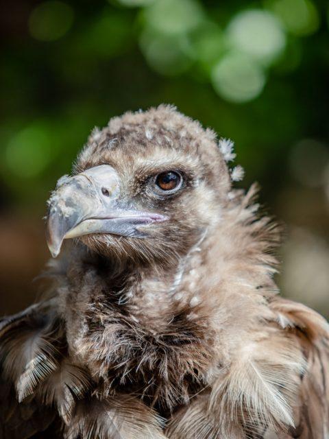portrait vautour