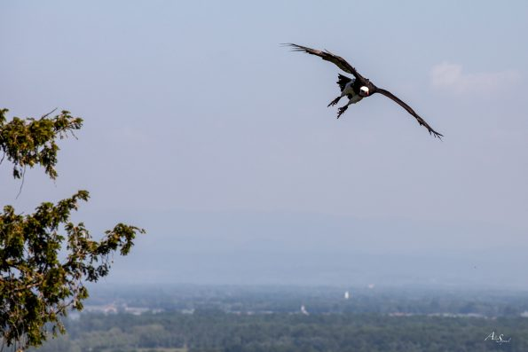 vautour vole