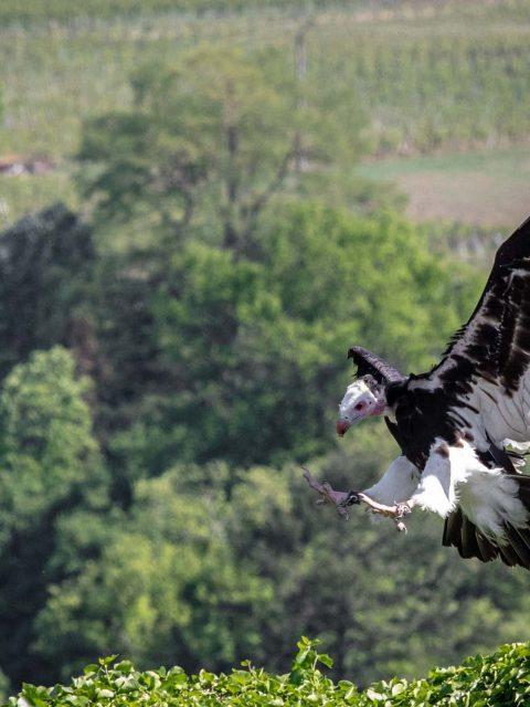 vautour se pose
