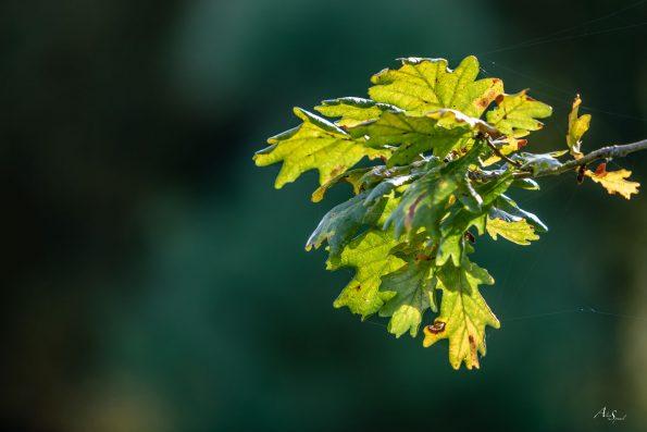 feuille chêne