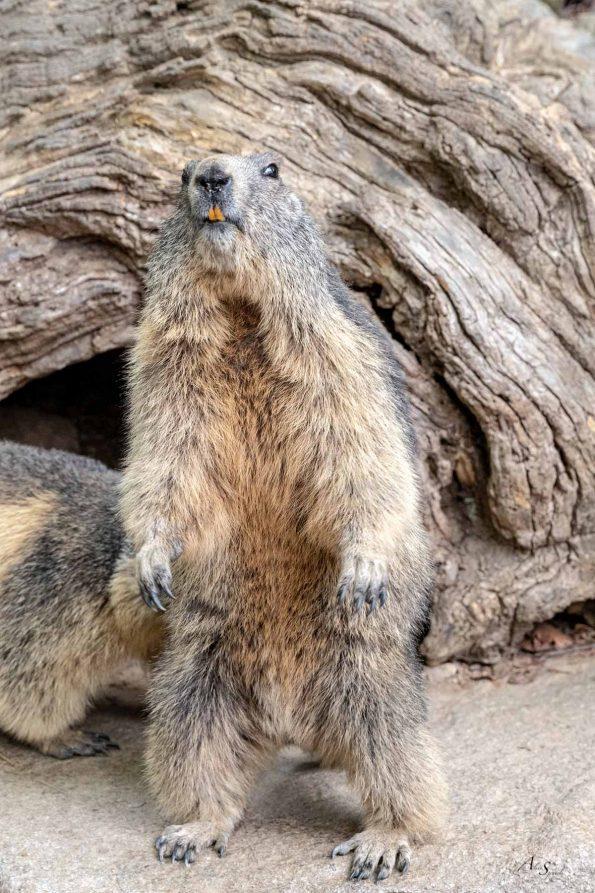 marmotte parc pyrenees