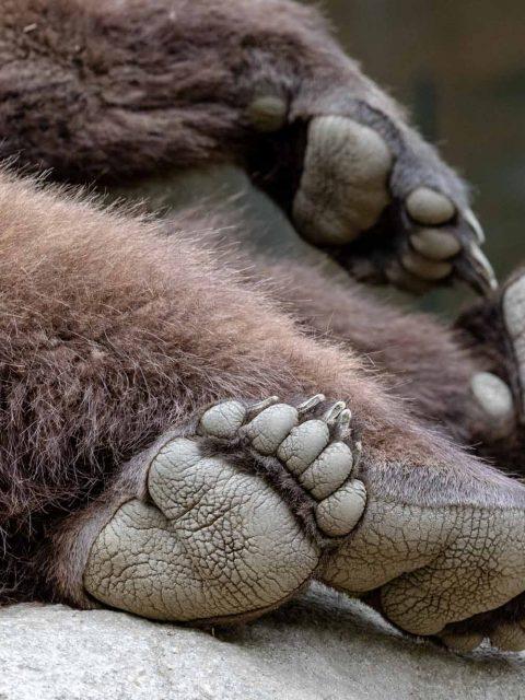 détail patte ours