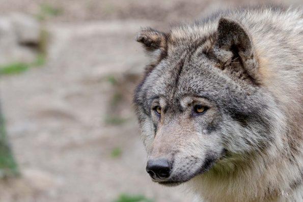 loup pyrénées