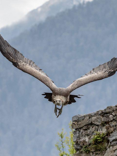 vautour vol
