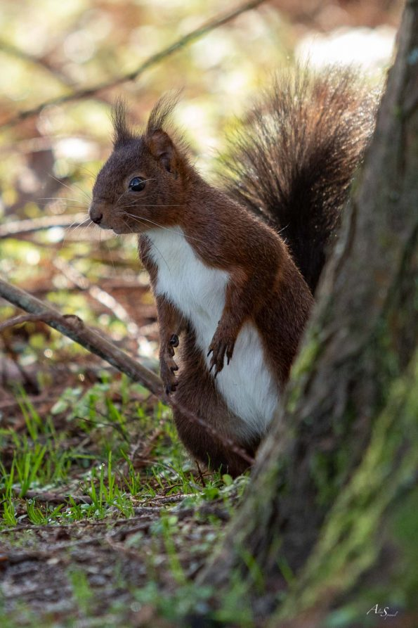 ecureuil squirrel