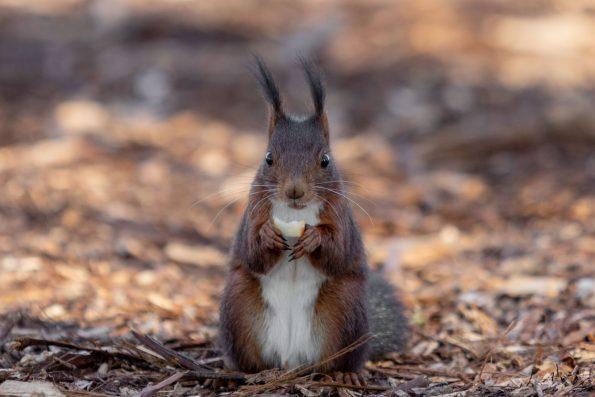 ecureuil mange