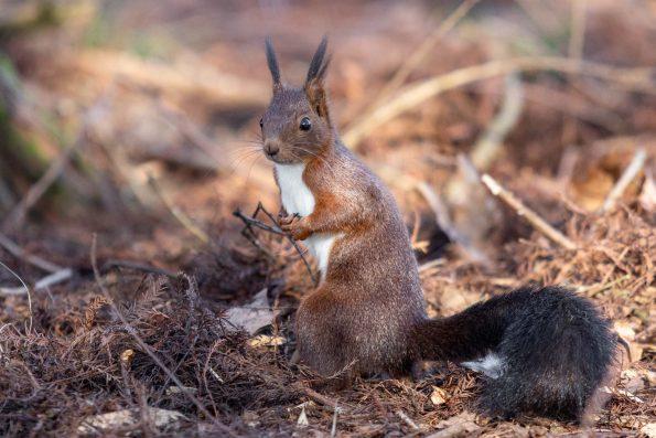 ecureuil foret