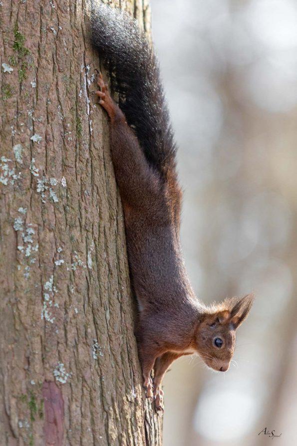 ecureuil arbre