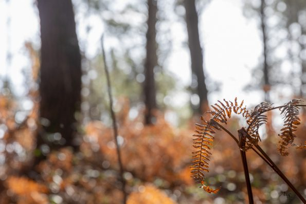 fougere-automne