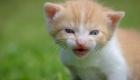 chaton-roux-miaule