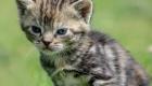 chaton-tigré